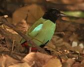 黑頭〈綠胸〉八色鳥:DSC_2181.JPG