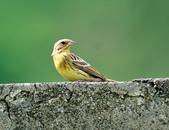 金鵐 Yellow-breasted Bunting  :DSC_6556.JPG
