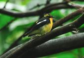 黃眉黃鶲Narcissus Flycatcher :DSC_0619.JPG