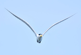 鳳頭燕鷗  Greater Crested Tern :DSC_9023.JPG