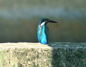 翠鳥  Common Kingfisher   :DSC_2378.JPG