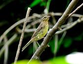 金鵐 Yellow-breasted Bunting  :DSC_6567.JPG