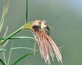 斑文鳥 Nutmeg Mannikin :DSC_6047.JPG
