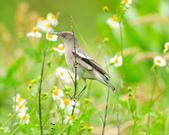 灰背椋鳥  Gray-backed Starling :DSC_6904.JPG