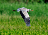 蒼鷺 Grey Heron     :DSC_5692.JPG