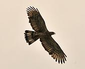 蜂鷹:DSC_1105.JPG