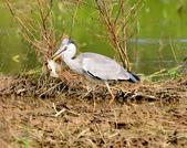 蒼鷺 Grey Heron     :DSC_5761.JPG