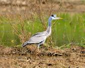 蒼鷺 Grey Heron     :DSC_5775.JPG