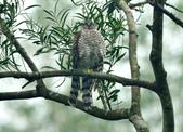 北雀鷹  Northern Sparrow Hawk :DSC_1462.JPG