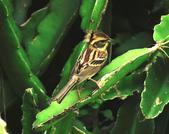 黃喉鵐Yellow-throated Bunting :DSC_9969.JPG