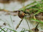 金翅雀  Oriental Greenfinch :DSC_0541.JPG