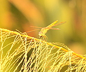 蜻蜓:DSC_8637.JPG