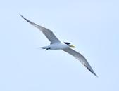 鳳頭燕鷗  Greater Crested Tern :DSC_9045.JPG