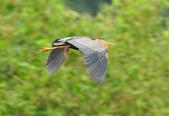 紫鷺     Purple Heron:DSC_0927.JPG