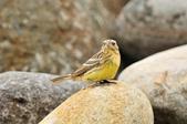金鵐 Yellow-breasted Bunting  :DSC_7244.JPG