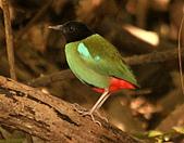 黑頭〈綠胸〉八色鳥:DSC_2199.JPG