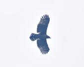 大冠鷲 Crested Serpent Eagle :DSC_1879.JPG