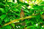 棕耳鵯Chestnut-eared Bulbul :DSC_7348.JPG