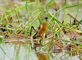金翅雀  Oriental Greenfinch :DSC_0469.JPG