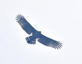 大冠鷲 Crested Serpent Eagle :DSC_1887.JPG