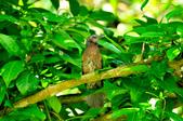 棕耳鵯Chestnut-eared Bulbul :DSC_7351.JPG