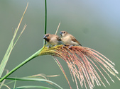 斑文鳥 Nutmeg Mannikin :DSC_6024.JPG