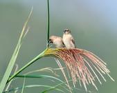斑文鳥 Nutmeg Mannikin :DSC_6041.JPG