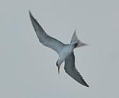 鳳頭燕鷗:DSC_7148.JPG
