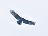 大冠鷲 Crested Serpent Eagle :DSC_1876.JPG