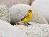金鵐 Yellow-breasted Bunting  :DSC_7193.JPG
