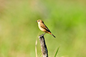 黑喉鴝Common Stonechat  :DSC_9425.JPG