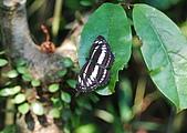 動物寫真:琉球三線蝶.JPG