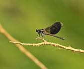 蜻蜓:DSC_8907.JPG