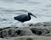岩鷺  Pacific Reef Egret    :DSC_2075.JPG