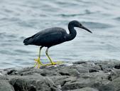 岩鷺  Pacific Reef Egret    :DSC_2081.JPG
