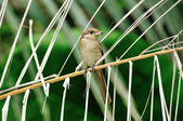 紅尾伯勞Brown Shrike  :DSC_6456.JPG