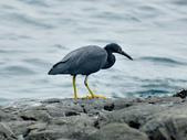岩鷺  Pacific Reef Egret    :DSC_2084.JPG