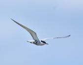黑腹燕鷗  Whiskered Tern :DSC_3089.JPG