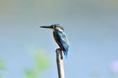 翠鳥  Common Kingfisher  :DSC_2453.JPG
