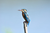 翠鳥  Common Kingfisher  :DSC_2469.JPG