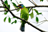五色鳥  Muller's Barbet   :DSC_3658.JPG