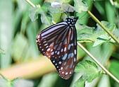 動物寫真:琉球青斑蝶.JPG