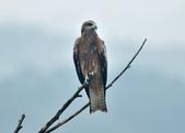老鷹   Black kite :DSC_1401.JPG