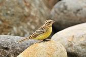 金鵐 Yellow-breasted Bunting  :DSC_7243.JPG