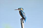 翠鳥  Common Kingfisher  :DSC_2473.JPG