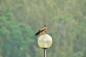 老鷹   Black kite      :DSC_4111.JPG