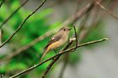 黃尾鴝 Daurian Redstart  :DSC_2289.JPG