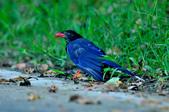 台灣藍鵲  Taiwan Blue Magpie :DSC_2310.JPG