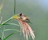斑文鳥 Nutmeg Mannikin :DSC_6048.JPG