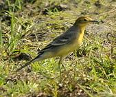 黃頭鶺鴒〈雌〉:DSC_9865.JPG